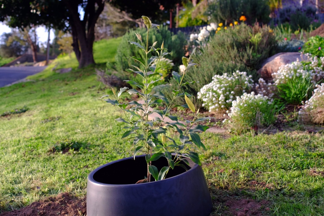 Lemon Myrtle Tree planted in the lawn