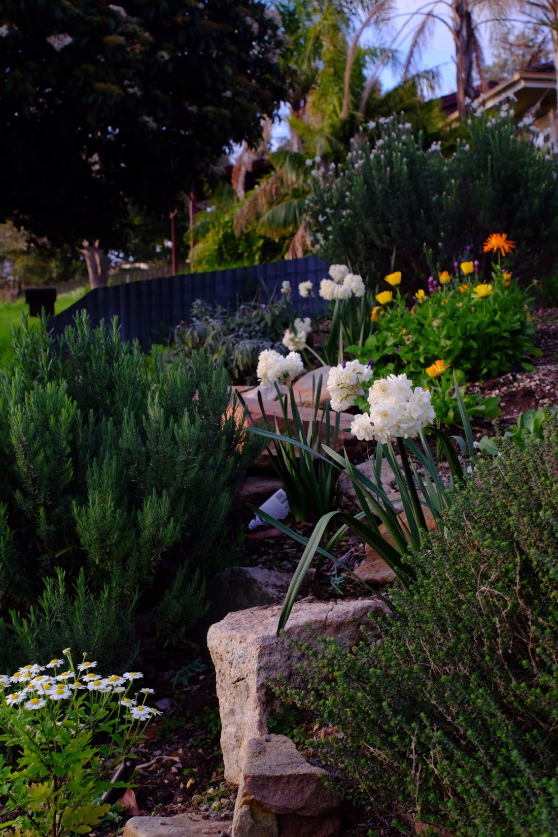 White daffodils planted in a rockery with other flowers and herbs in the foreground